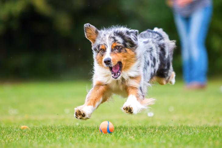Australian Shepherd dog jumping for a ball outdoors