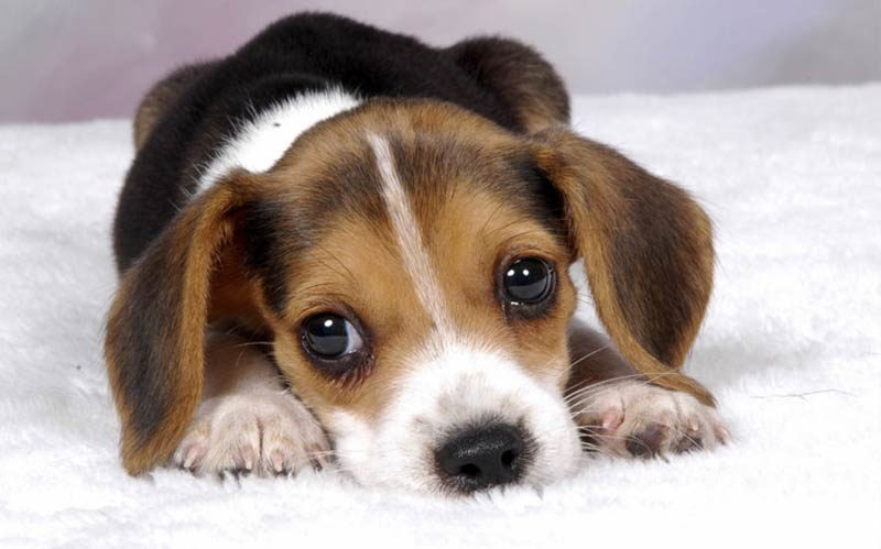 The Most Popular Dog Names Of 2015 – American Kennel Club