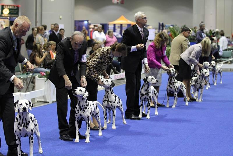 dog show dalmatians