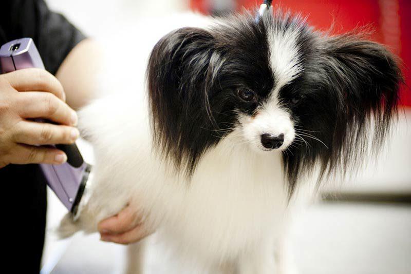 dog shaving