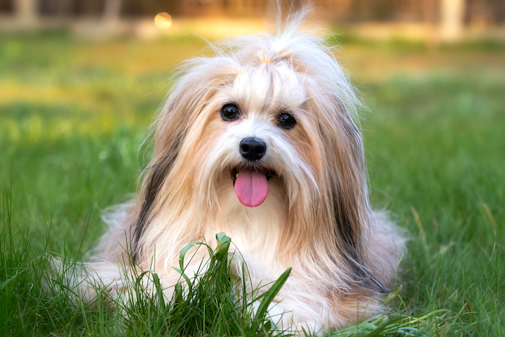 Havanese laying down in the yard.