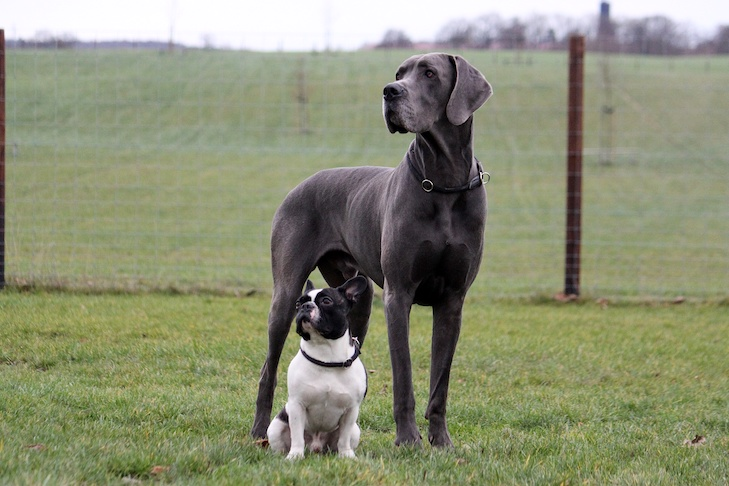 Great Dane standing next to a French Bulldog in a field.