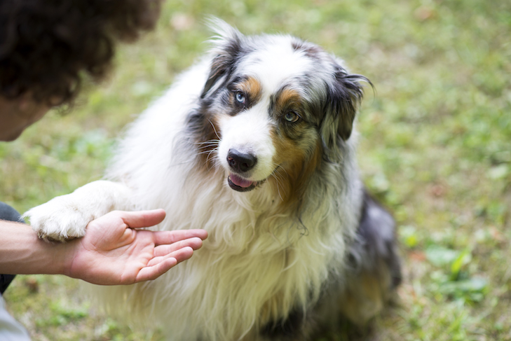 Australian Shepherd giving paw outdoors.