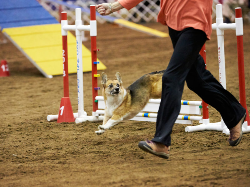How to Watch the 2019 AKC Rally, Obedience, and Agility National