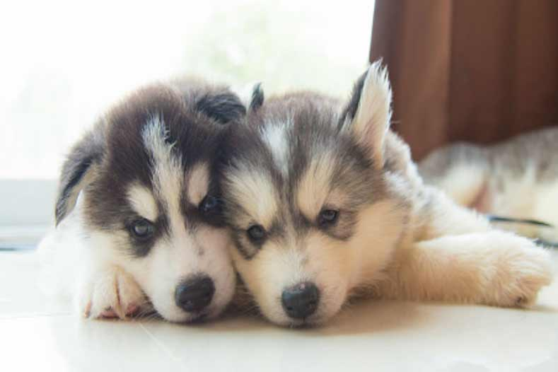 36 Husky Dog Names Perfect for Your New Best Friend