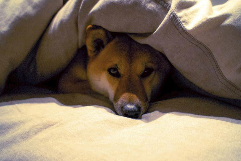 dog under blankets