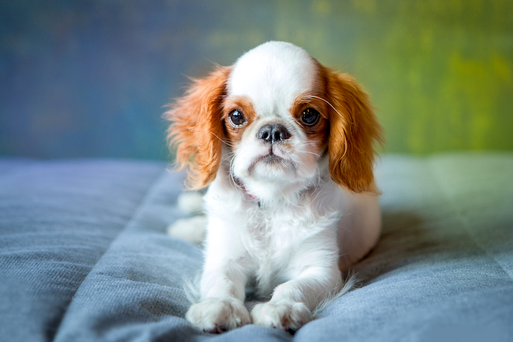 English Toy Spaniel puppy laying down indoors.