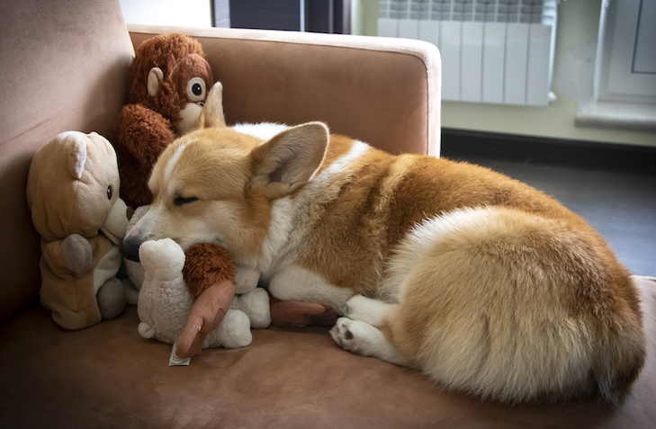 Pembroke Welsh Corgi sleeping on the couch with its toys.