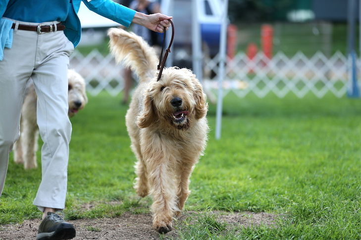 Otterhounds, originally bred to hunt otters in England, are today one of the rarest dog breeds. The number of Otterhounds in the world is lower than that of many endangered species.