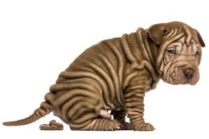 Chinese Shar-Pei puppy pooping