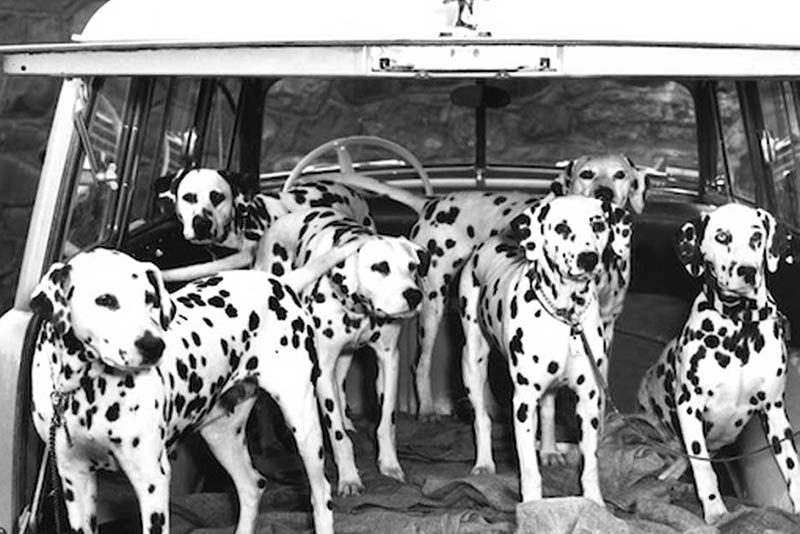 dalmatian in history and culture