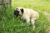 Pug pooping outdoors in tall grass.