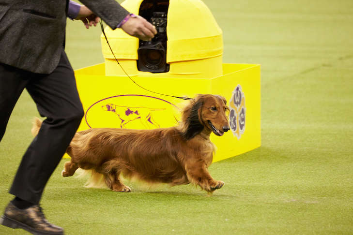 Burns, the winner of the Hound Group at Westminster in 2019, has an Earthdog title.