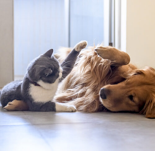 Like Cats and Dogs? Teach Your Dog and Cat to Live in Harmony – American Kennel Club