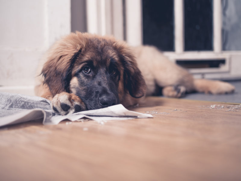 Housetraining Dogs: Puppy Potty Pad and Paper Training
