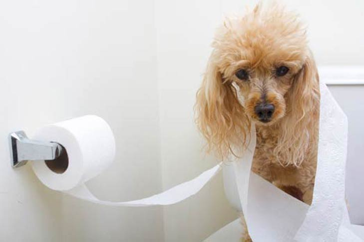 Miniature Poodle wrapped in toilet paper