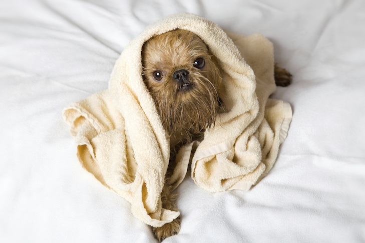 Brussels Griffon wrapped in a towel after a bath.