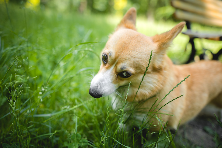Why Does My Dog Eat Grass American Kennel Club