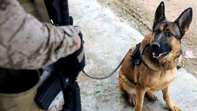 Why Aren't Military Dogs Given Purple Hearts? – American ... | 800 x 451 jpeg 56kB