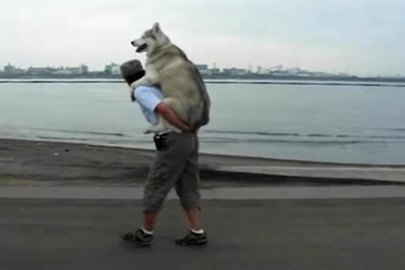 You Have To See This Husky Getting A Piggy Back Ride
