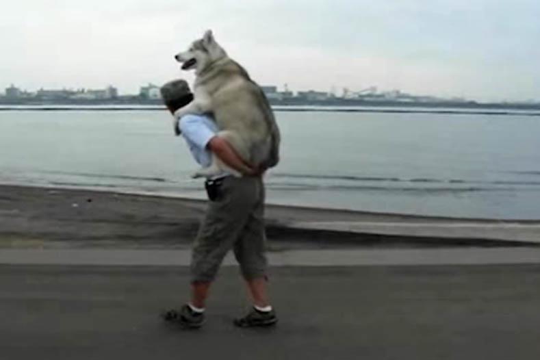Siberian Husky getting a piggyback ride