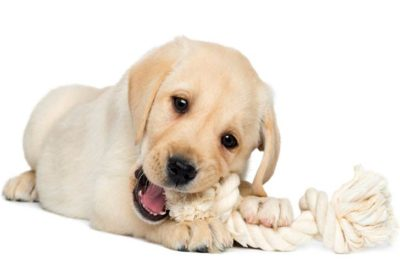 Golden Retriever puppy teething and chewing on a rope toy