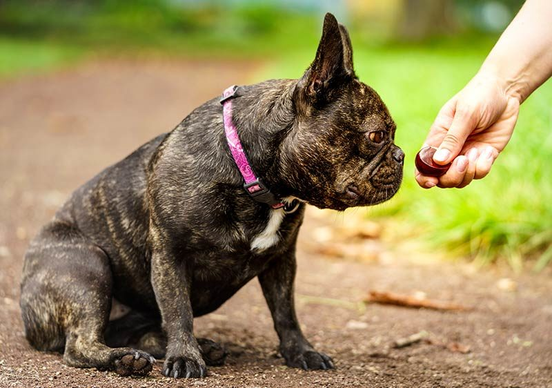 french bulldog eating from owner's hand