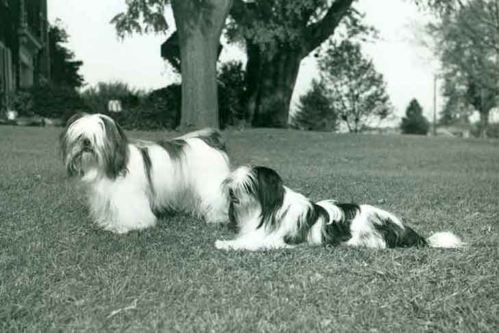 Lhasa Apso dogs