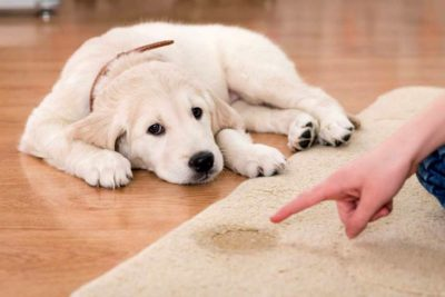 Golden Retriever puppy had an accident on the rug