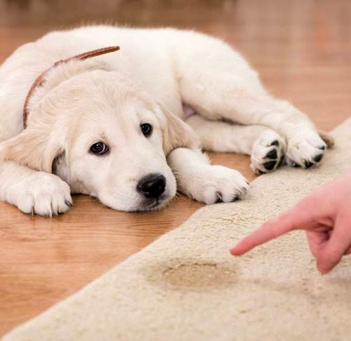 Potty Training A Puppy How To House Train Puppies
