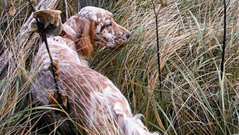fall hunting dogs