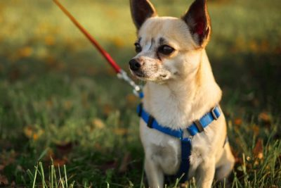 Chihuahua on a walk outdoors
