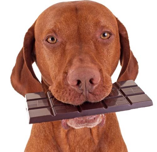 Treat Chocolate Poisoning In Dogs
