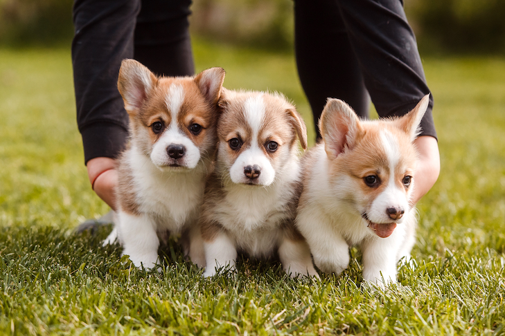 Pembroke Welsh Corgi puppies being held together in the grass.