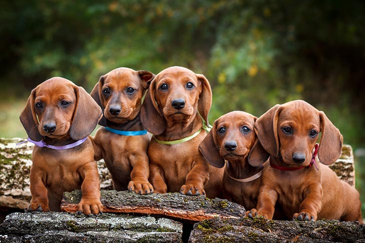 Dachshund litter of puppies sitting outdoors.