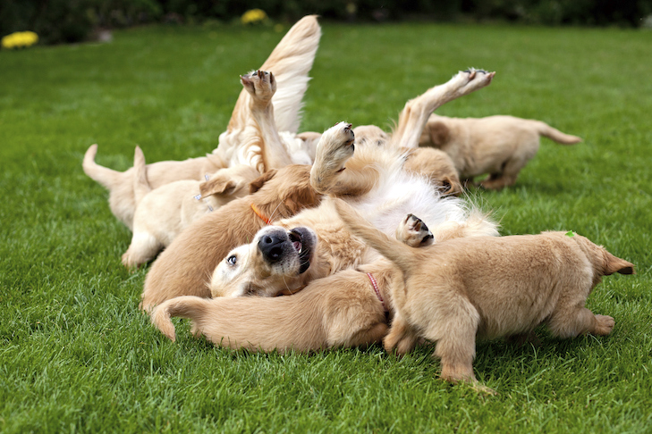 Golden Retriever rolling over playing with her litter of puppies outdoors.