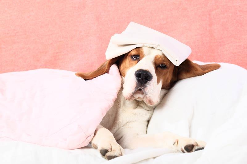 Bệnh sốt giật canxi ở chó mẹ đang nuôi con