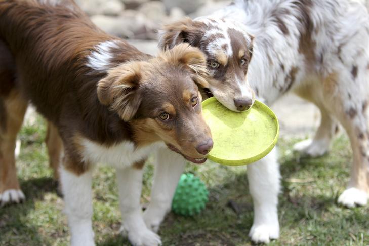 Two Australian Shepherd dogs chewing on a frisbie.