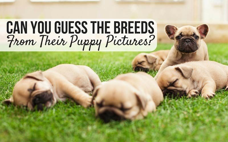Can you guess the breeds from their puppy pics?