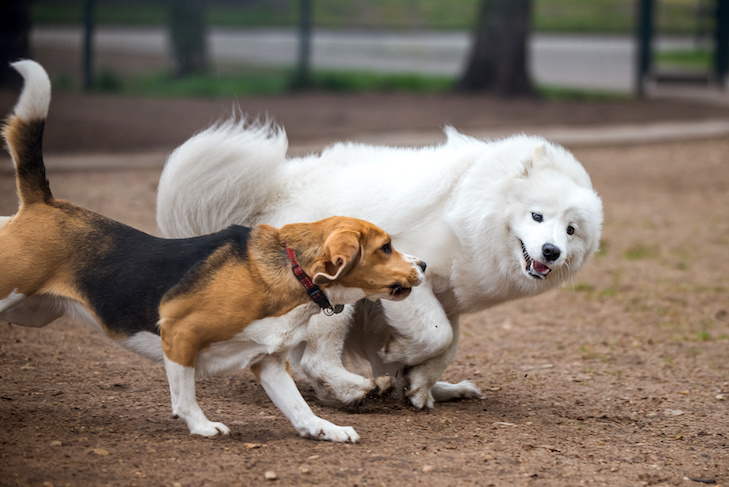 Samoyed dog and beagle in motion play in the park. Two dogs on the lawn at a park. The dogs are fight-playing.