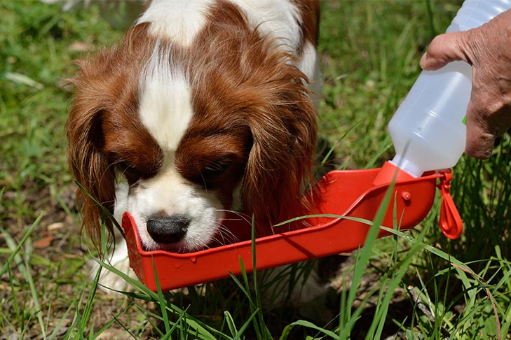 Cavalier King Charles Spaniel outdoors drinking from a portable water bowl.