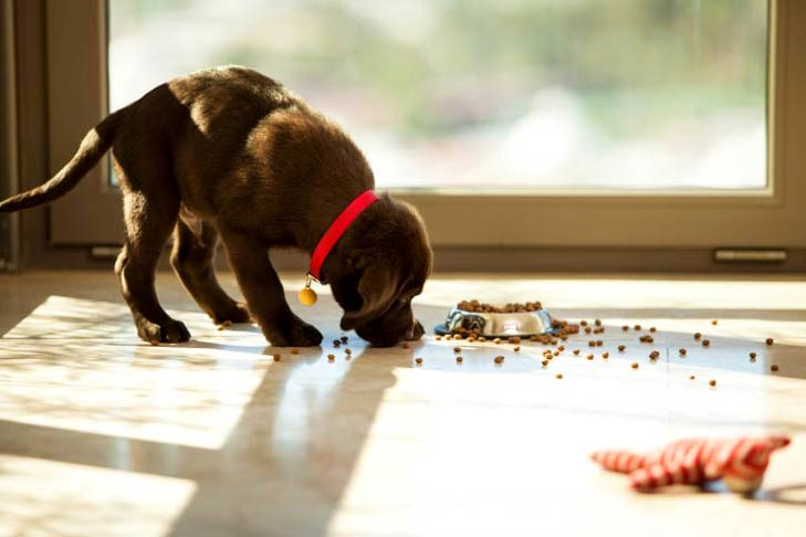Chocolate Labrador retriever puppy eating the spilled dog food on the floor outside his dish.