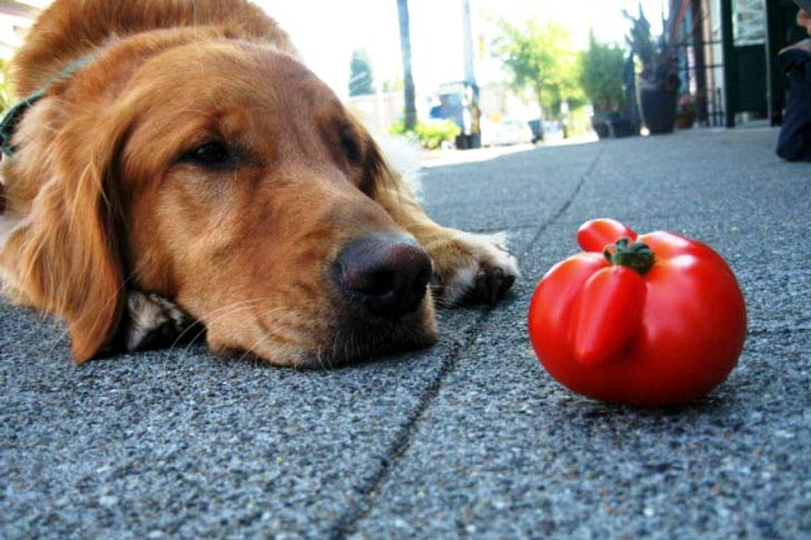 Is It Harmful For Dogs To Eat Tomatoes
