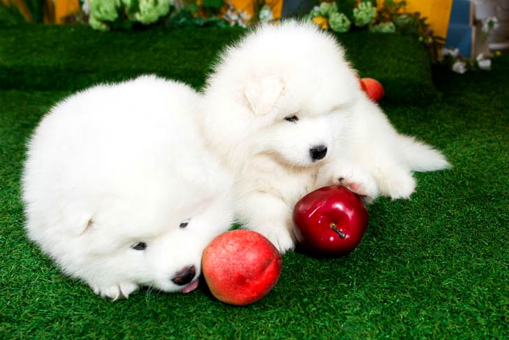 Samoyed puppies with apples