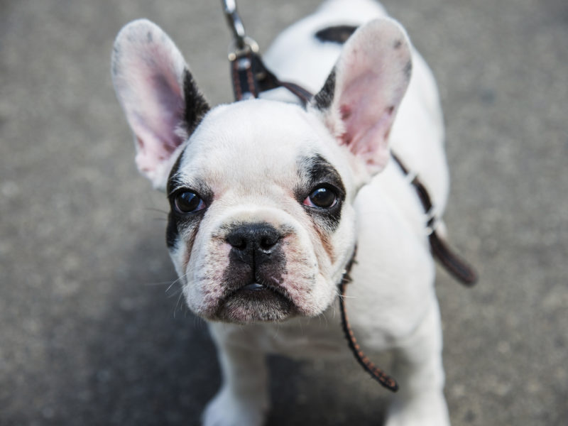 Shopping for gifts for dog lovers can be difficult, luckily this compilation of French Bulldog gifts will help with that near-impossible task.