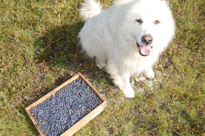 my dog ate a blueberry