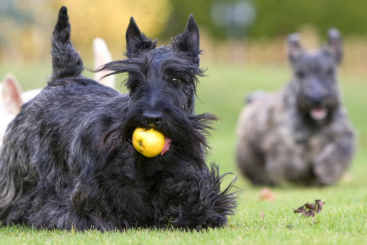 Scottish Terriers playing in the grass.