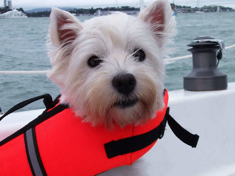 95377ef937dd8 Dog Life Jacket: 4 of the Best Options for Your Dog—American Kennel Club