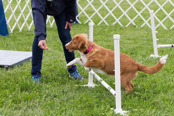 Nova Scotia Duck Tolling Retriever being trained to leap over an agility pole.