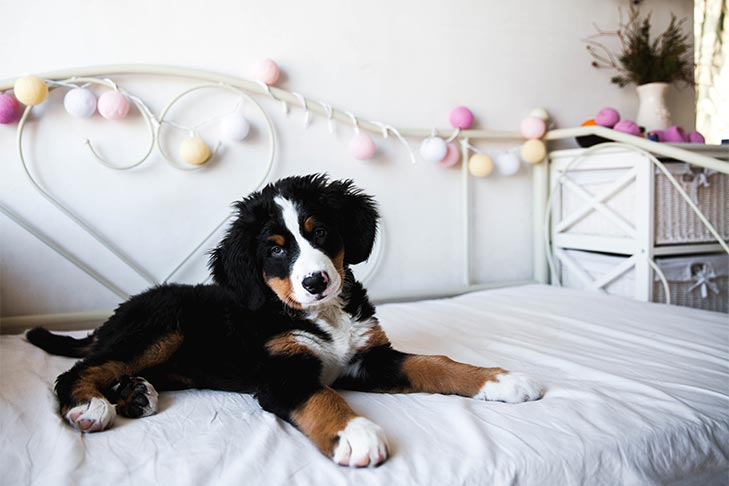 How To Introduce Your New Puppy To His Home A Checklist